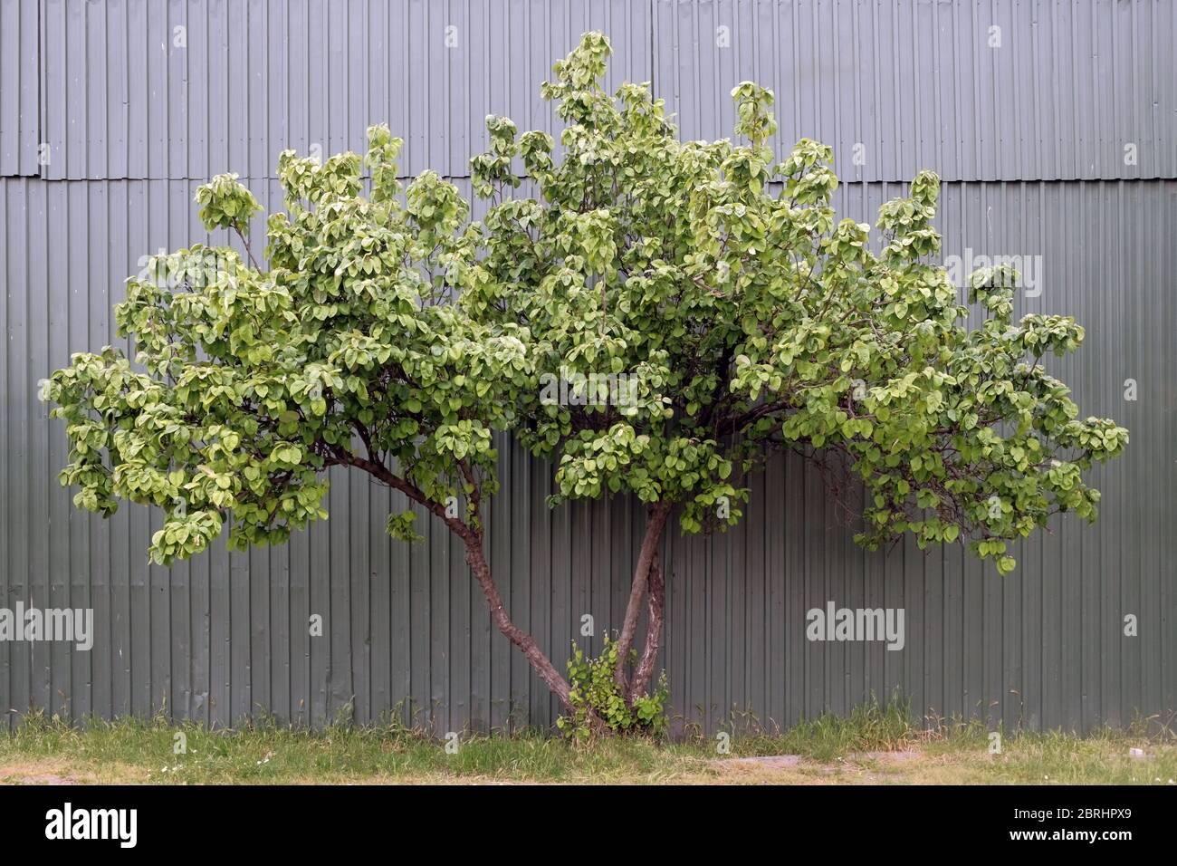 Single tree grows near plastic wall. Nature against civilisation. Environmental problem. Environmental pollution, Stock Photo