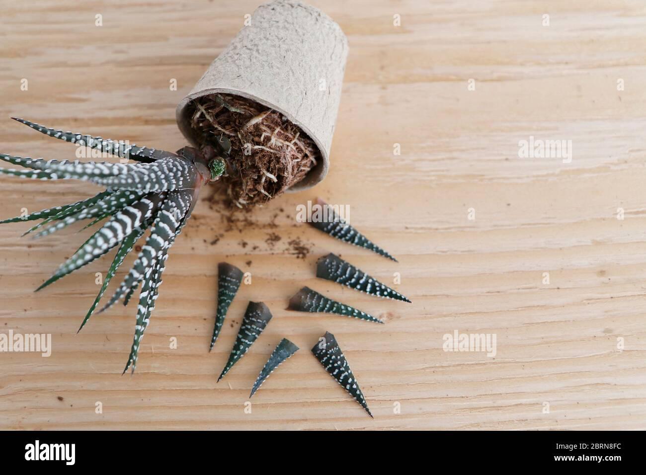 Succulent Propagation Zebra Stock Photo Alamy