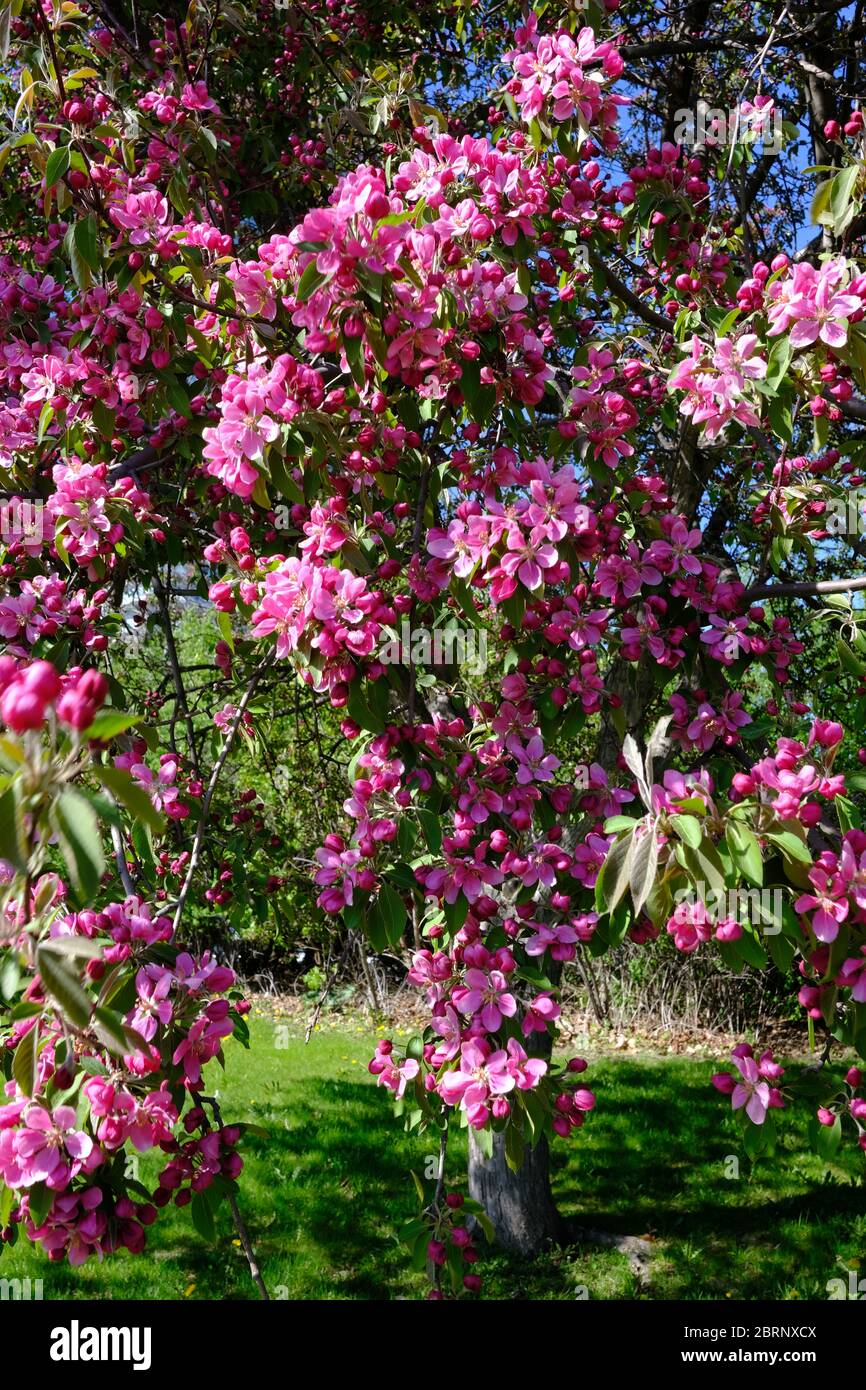 Cherry Blossoms In Ontario The Best Guide For Finding These Flowers I Ve Been Bit Travel Blog