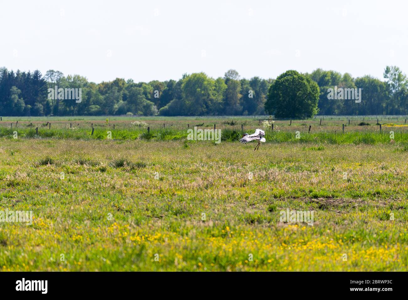 a stork  lands on a field in the sunshine and searches for food for its little ones Stock Photo