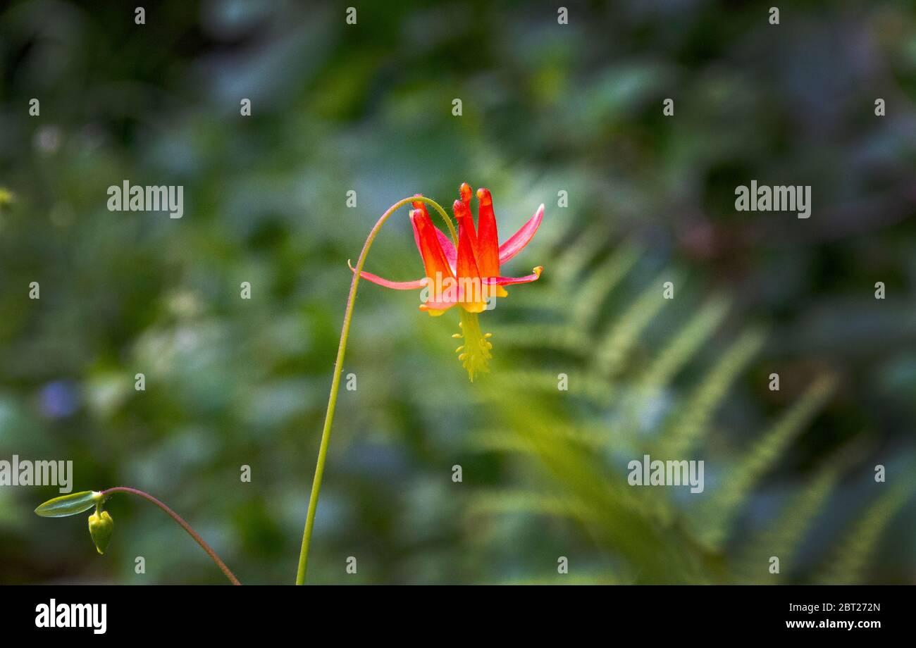 Columbine wildflower, Northern California Stock Photo