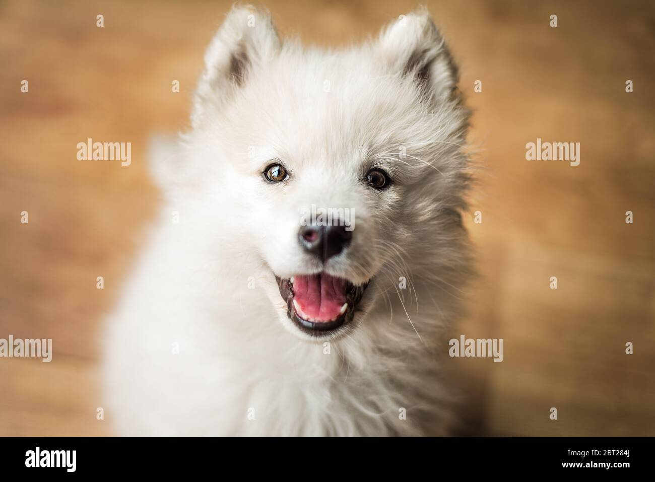 Cute Young Playful Samoyed Puppy Indoors Looks Up At The Camera With A Happy Expression And A Smile Stock Photo Alamy