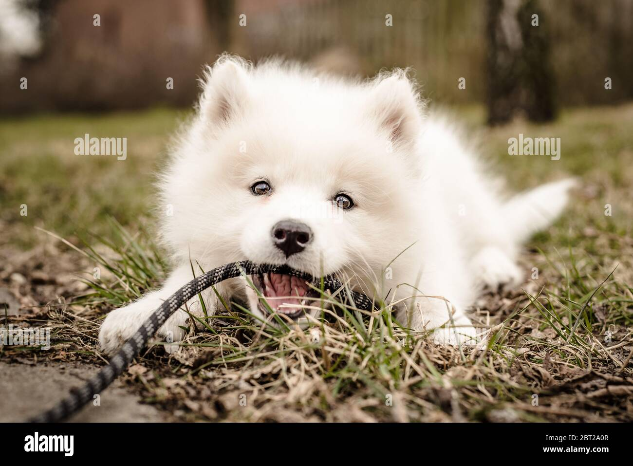 Cute Young Playful Samoyed Puppy Lays In The Grass And Holds Its Leash In Its Mouth Looking At The Camera With A Happy Expression And A Smile Stock Photo Alamy