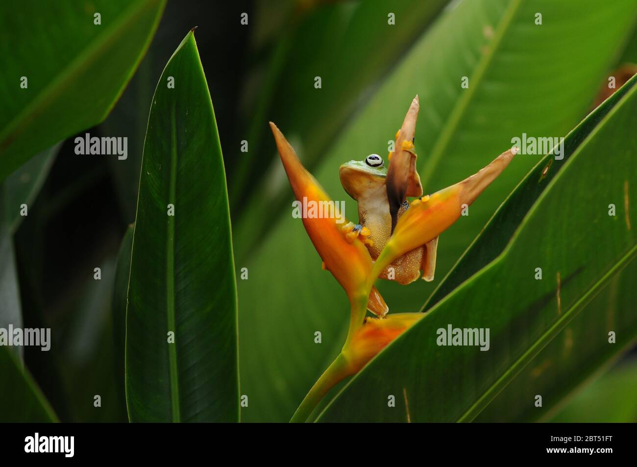 Low angle view of a dumpy tree frog on a flower, Indonesia Stock Photo