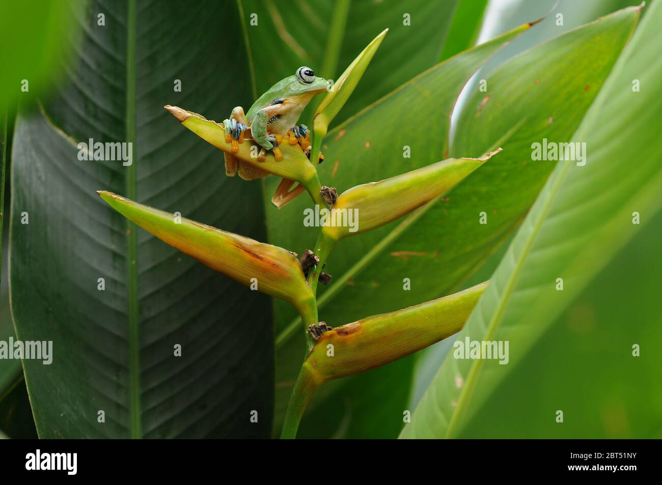 Dumpy tree frog on a flower, Indonesia Stock Photo