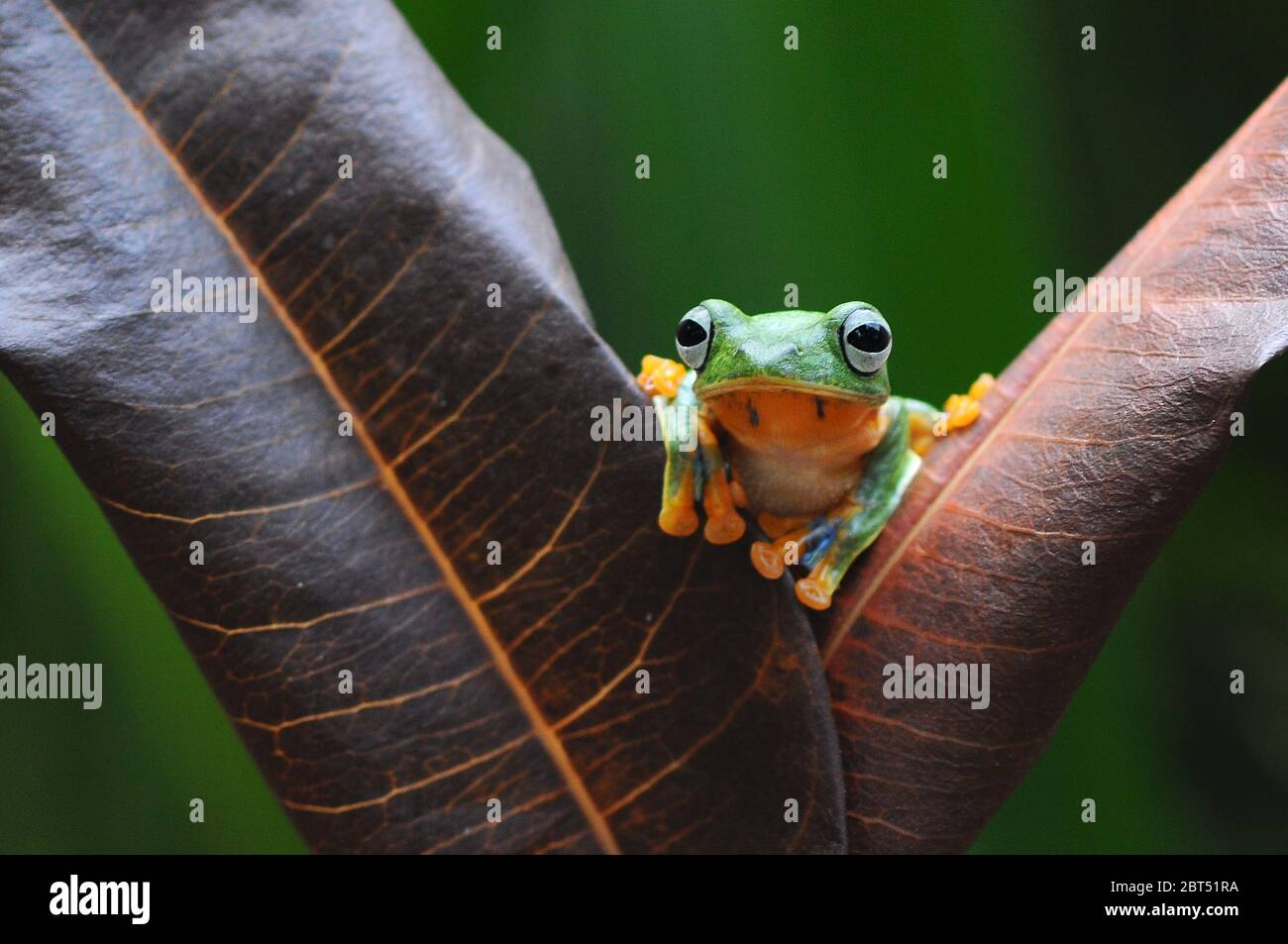 Dumpy tree frog on a leaf, Indonesia Stock Photo