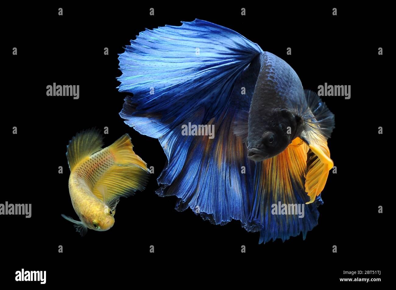 Two betta fish swimming in an aquarium Stock Photo