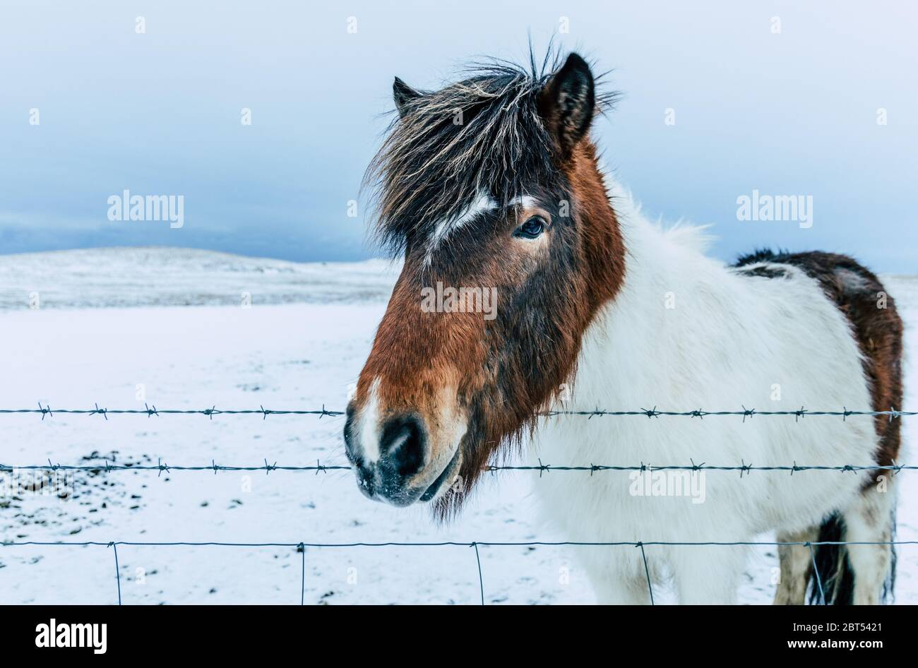 Icelandic horse standing by a fence, Iceland Stock Photo