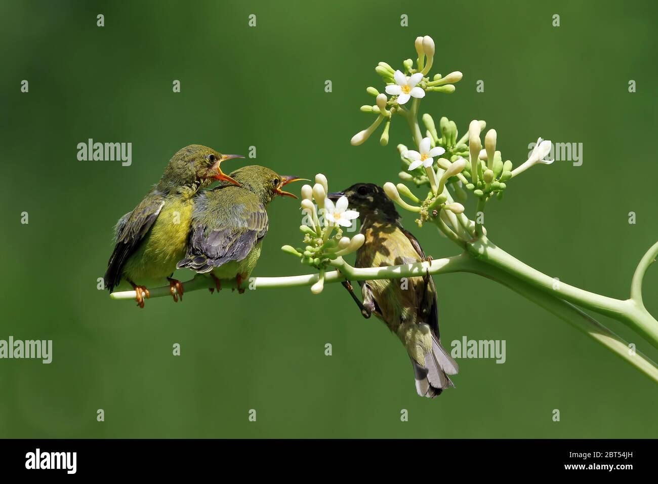 Olive-Backed Sunbird on a plant feeding her chicks, Indonesia Stock Photo
