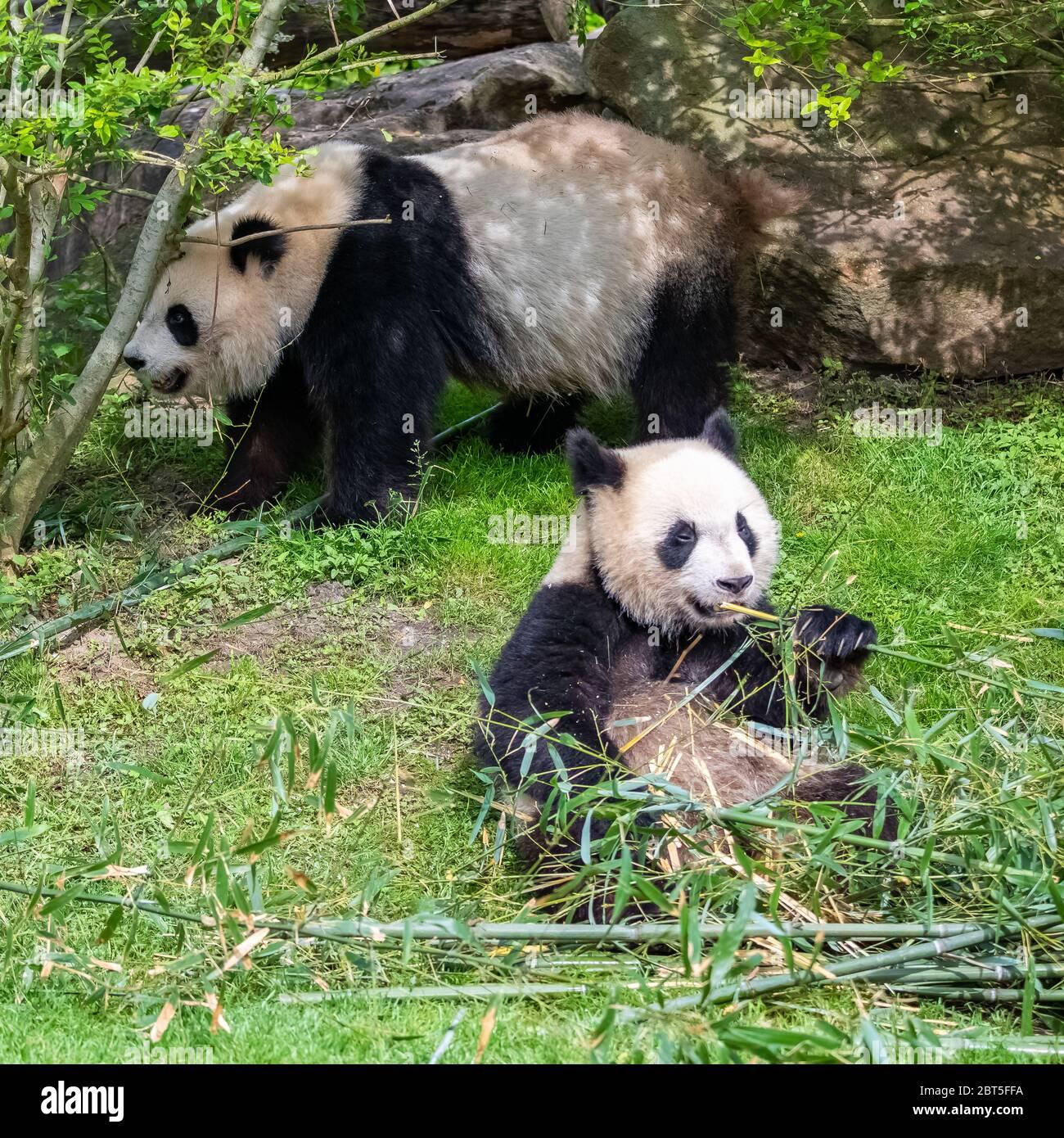 Giant Pandas Bear Pandas Baby Panda And His Mother Eating Bamboo Stock Photo Alamy