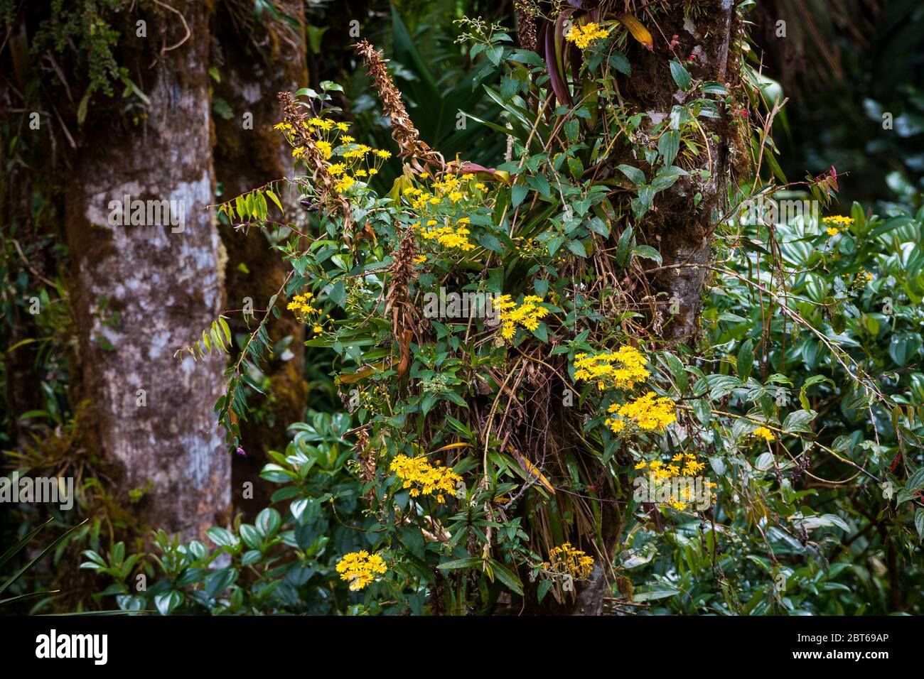 Beautiful yellow flowers in the lush cloudforest in La Amistad national park, Chiriqui province, Republic of Panama Stock Photo