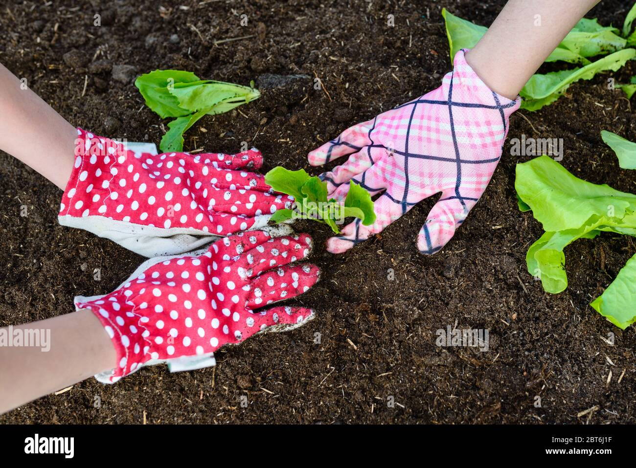 Mother and daughter planting young lettuce seedlings in the vegetable garden Stock Photo