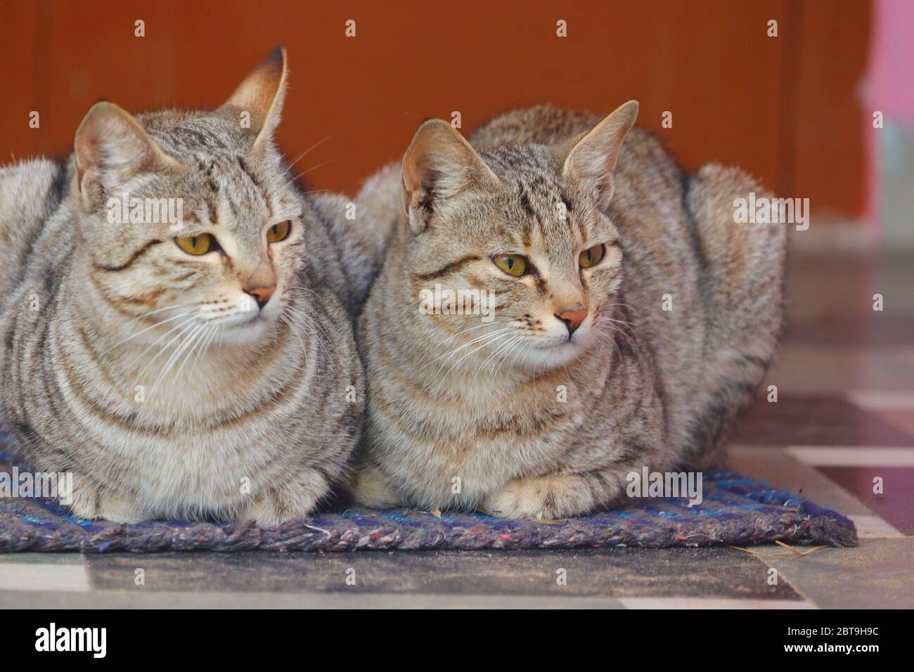 close up of two cats sitting on cloth at home Stock Photo