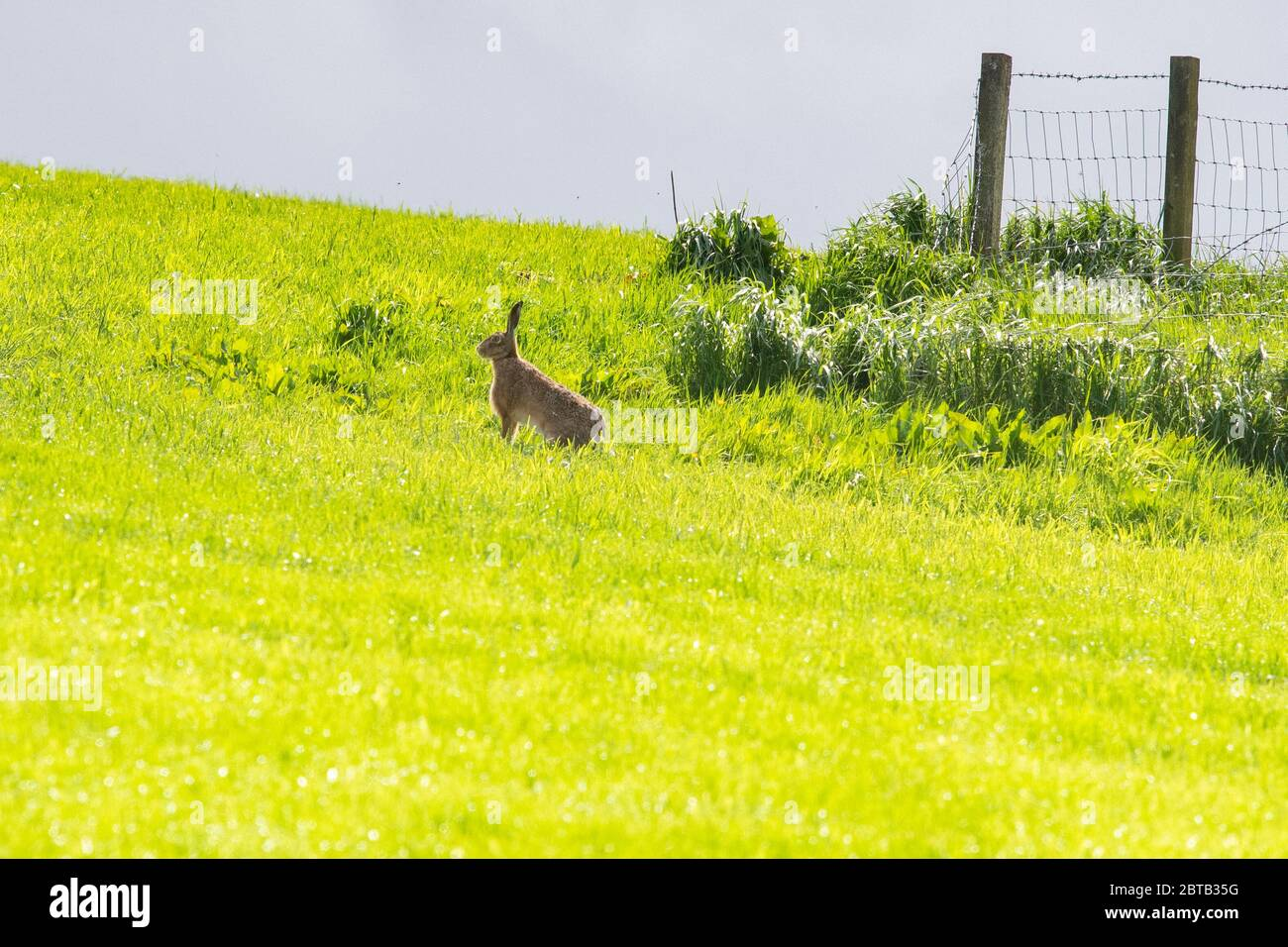 Stirlingshire, Scotland, UK. 24th May, 2020. UK weather - a hare is illuminated by brief sunshine on a mainly cloudy day, becoming brighter in the afternoon in Stirlingshire, Scotland Credit: Kay Roxby/Alamy Live News Stock Photo