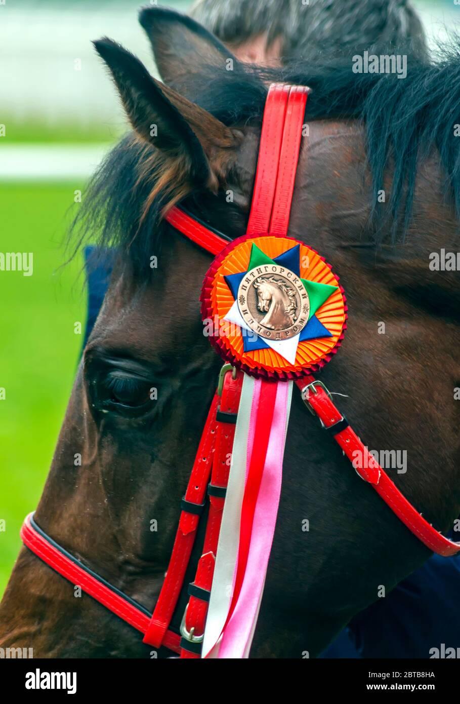 PYATIGORSK,RUSSIA - MAY 24,2020:Prize winner in honor of the Pavlovsky Hippodrome - red thoroughbred stallion Hoppner.On the rosette there is an inscr Stock Photo