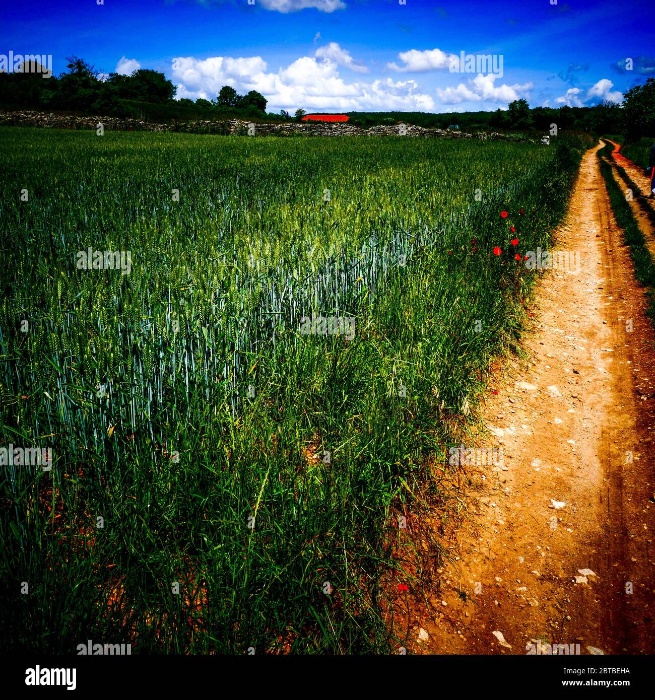 Corn field along a country lane, digitaly filterd view, Isere, France Stock Photo