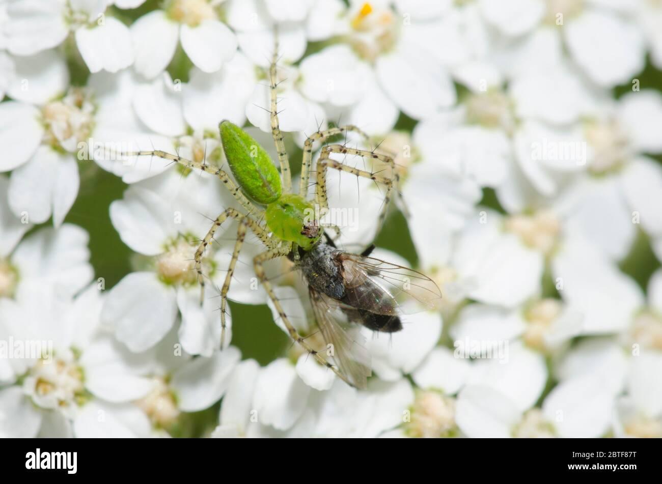 Green Lynx Spider, Peucetia viridans, feeding on captured tachinid fly, Family Tachinidae, on yarrow, Achillea millefolium Stock Photo