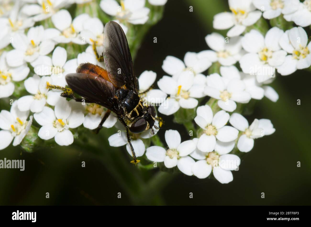 Feather-legged Fly, Trichopoda sp., foraging on yarrow, Achillea millefolium Stock Photo