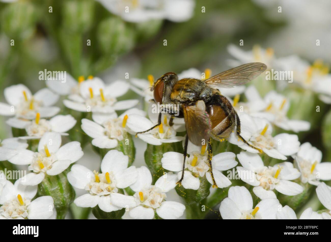 Tachinid Fly, Gymnoclytia sp., foraging on yarrow, Achillea millefolium Stock Photo