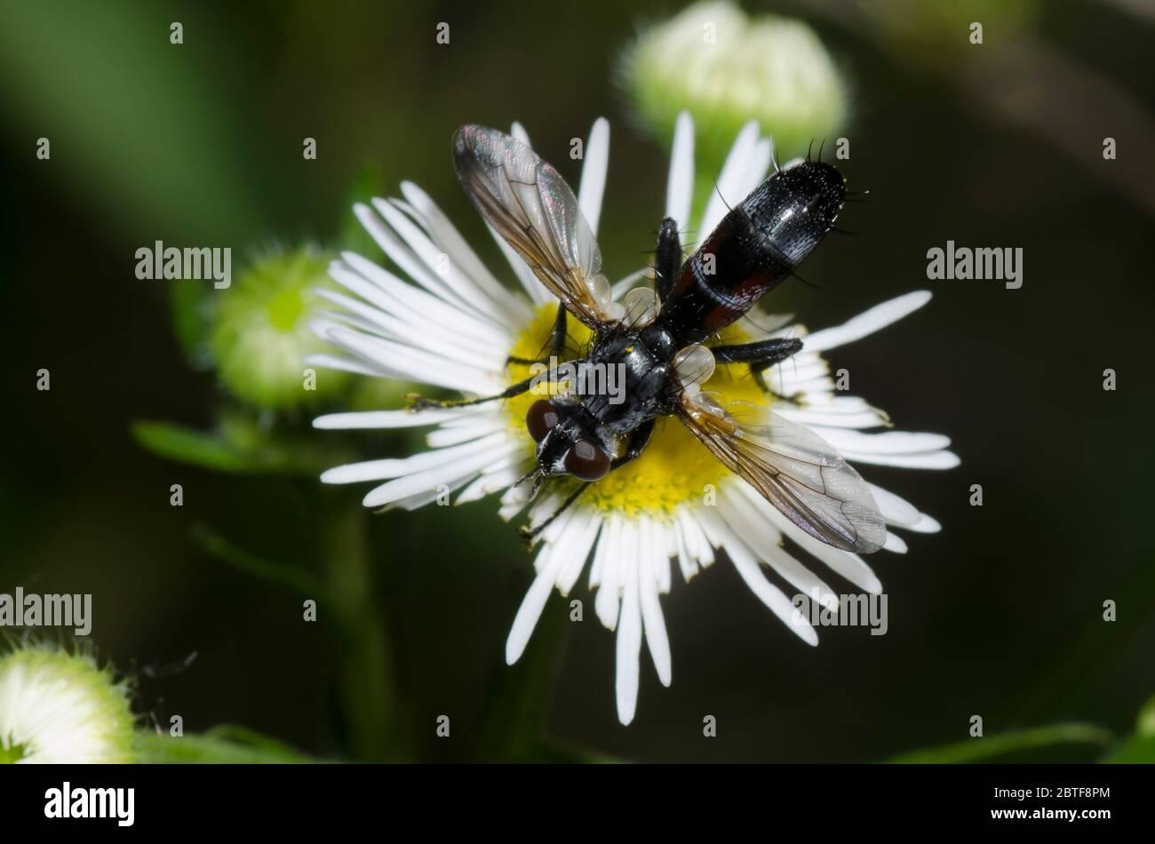 Tachinid Fly, Cylindromyia sp., foraging on Fleabane, Erigeron sp. Stock Photo
