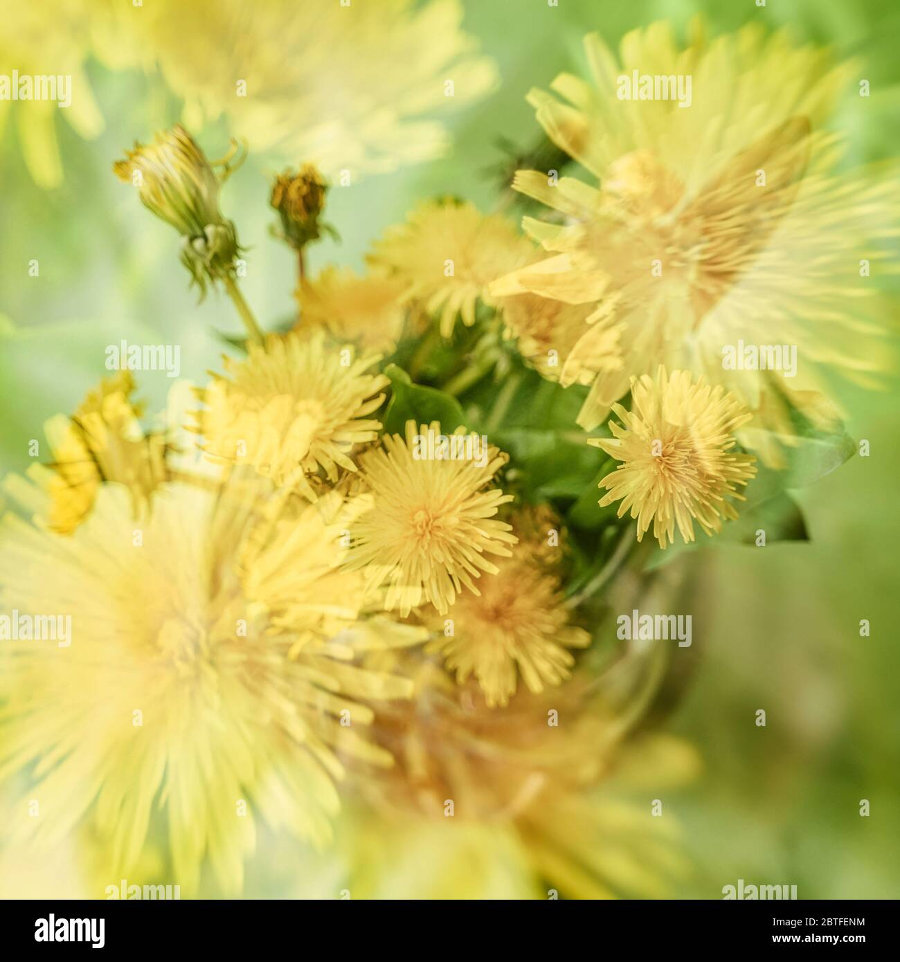 Blurred floral background, double exposure, colorful yellow dandelions. Concept of spring, holidays Stock Photo