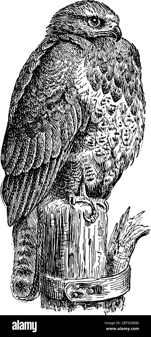 Buzzard, a type of hawk, is a large bird with thick bills, tail, short neck, broad and wide wings, vintage line drawing or engraving illustration. Stock Vector