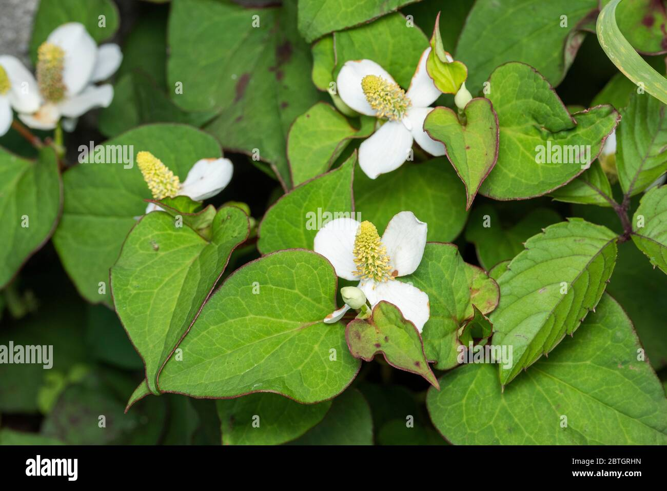 Flower of fish mint (Houttuynia cordata), Isehara City, Kanagawa Prefecture, Japan Stock Photo