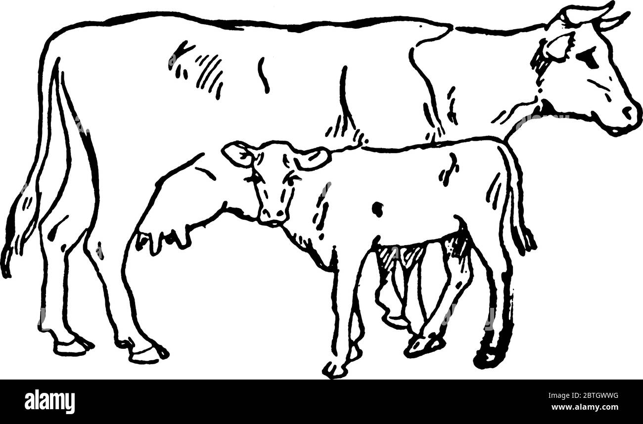 Cow Front View Sketch