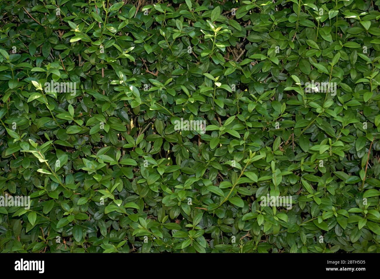 The wall consists of a green hedge , rich beautiful color , can be used as background, texture, backdrop. Stock Photo