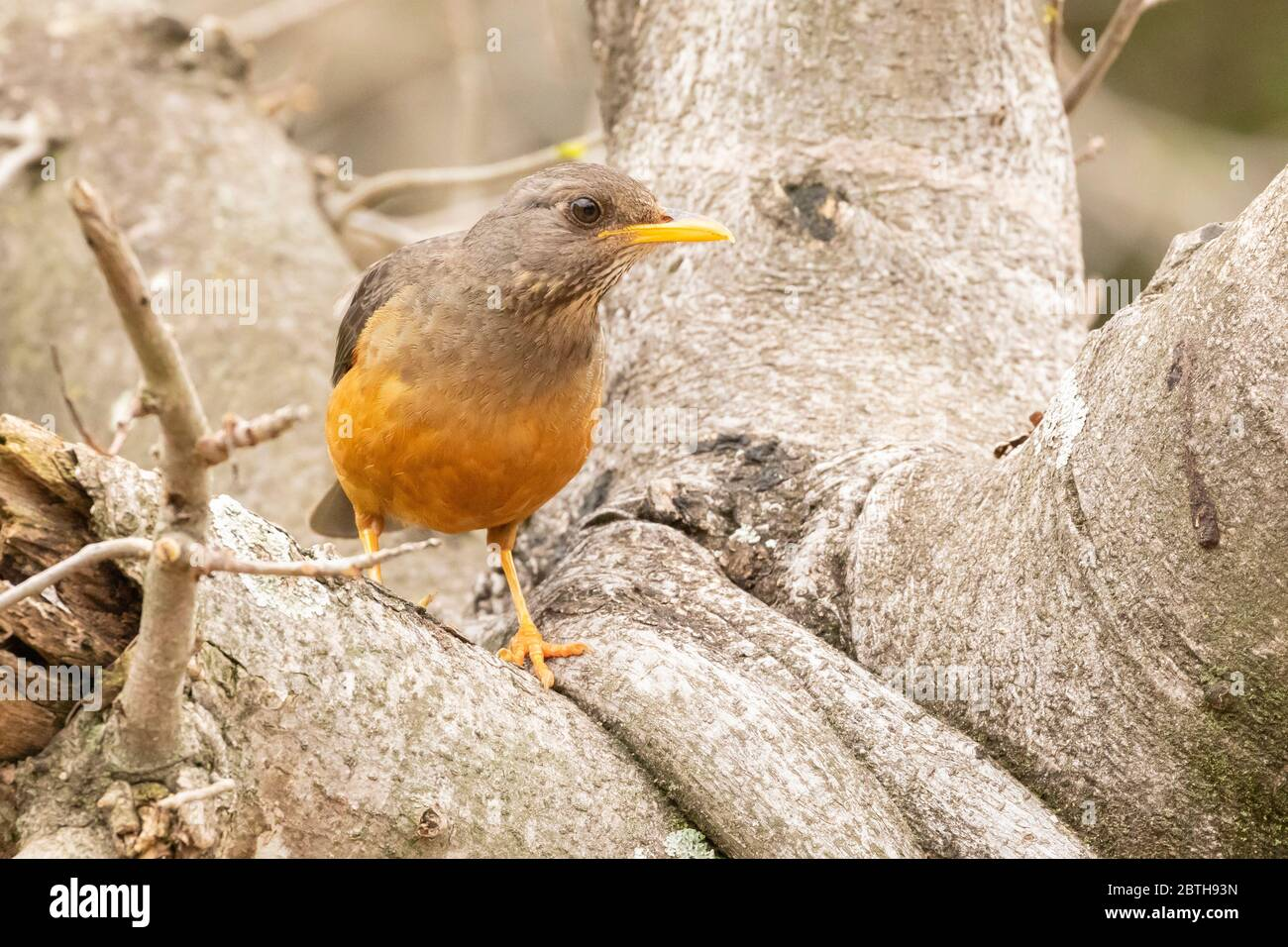 Olive Thrush (Turdus olivaceus)  on tree, Eastern Cape South Africa Stock Photo