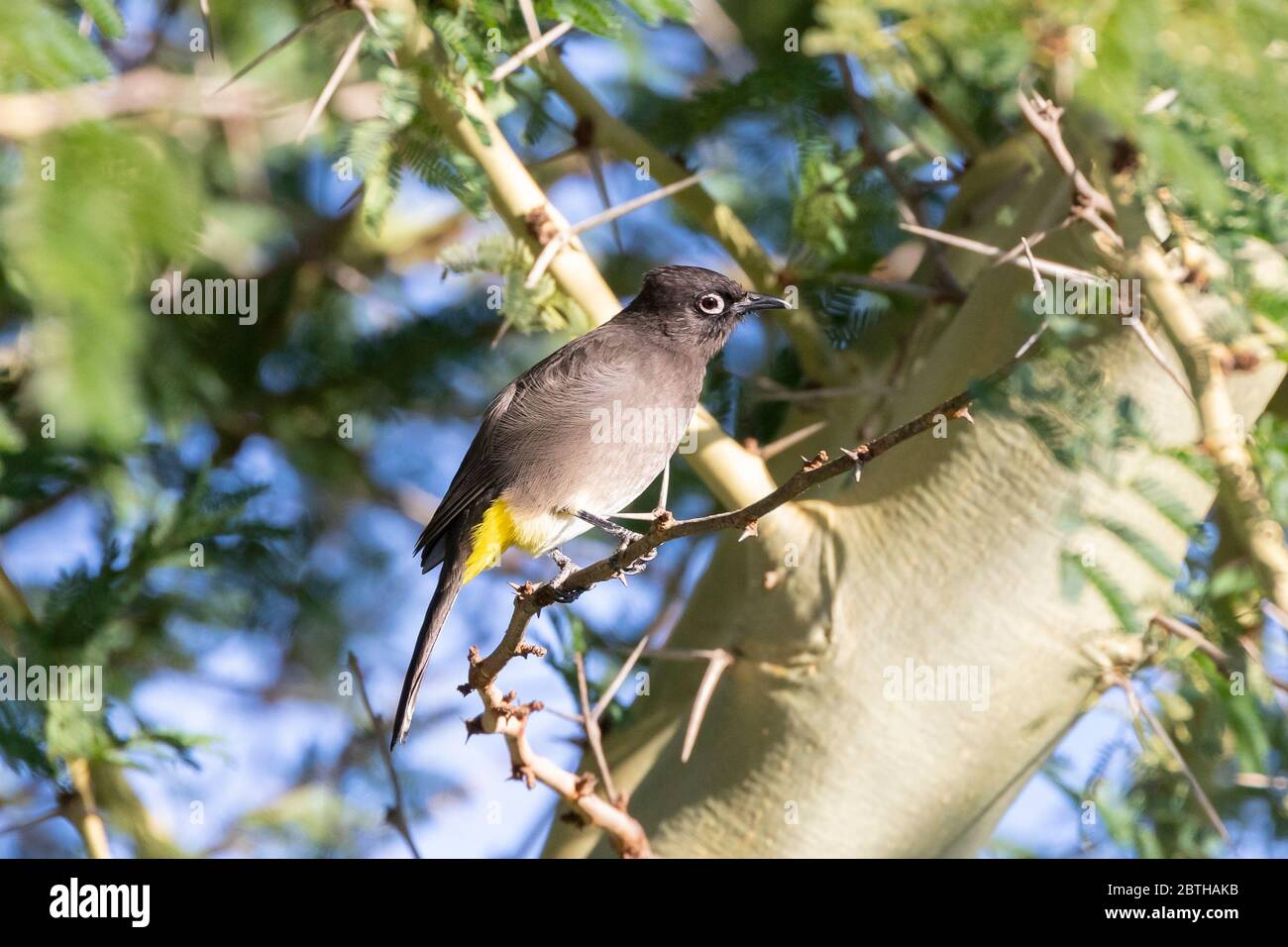 Cape Bulbul (Pycnonotus capensis) perched in  a Fever Tree (Vachellia xanthophloea),  Western Cape, South Africa Stock Photo