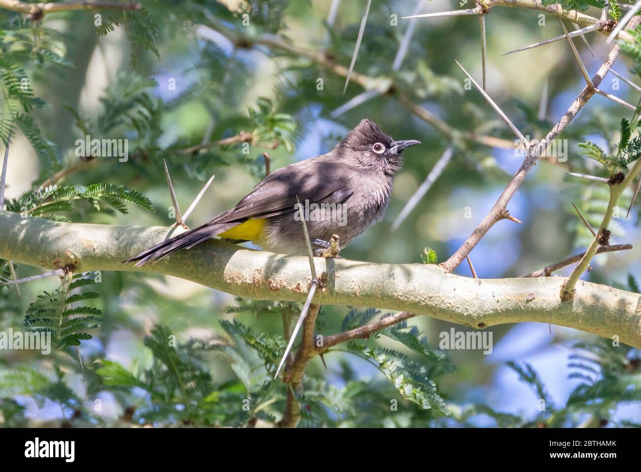 Cape Bulbul (Pycnonotus capensis) perched in  a Fever Tree (Vachellia xanthophloea),  Western Cape, South Africa in autumn Stock Photo