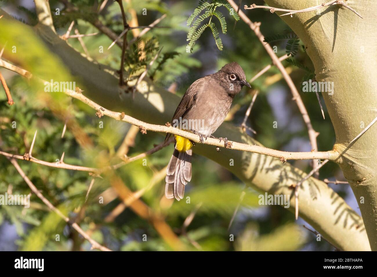 Cape Bulbul (Pycnonotus capensis) perched in a Fever Tree (Vachellia xanthophloea) in autumn, Breede River Valley, Western Cape, South Africa Stock Photo