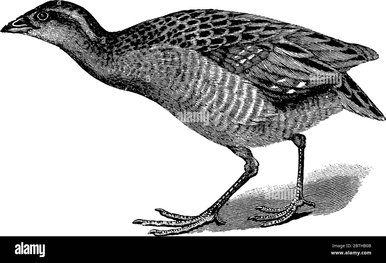 The Landrail or Corn Crake is a bird in the Rallidae family. They have solid bodies, strong legs, short rounded wings and a short tail., vintage line Stock Vector