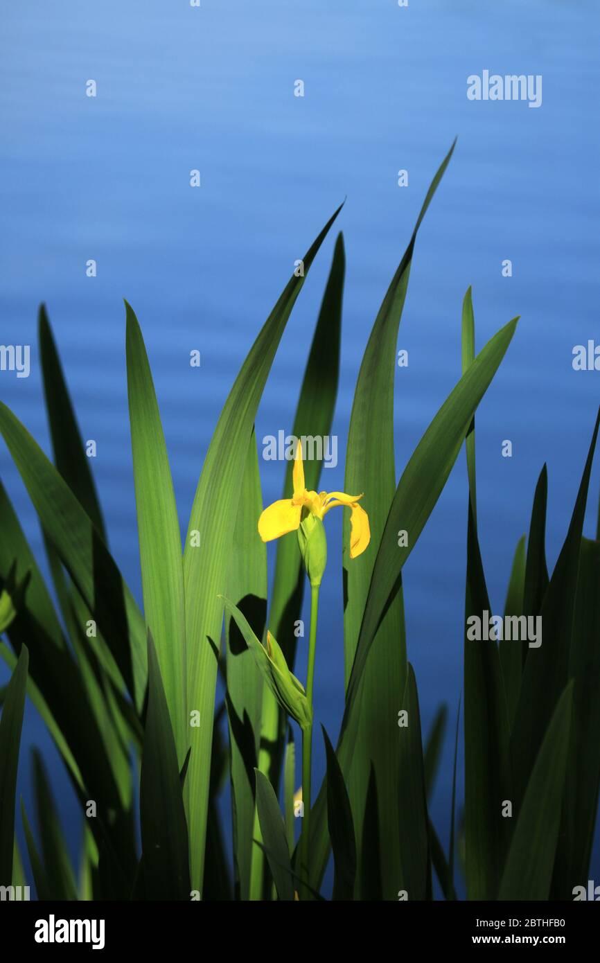 Yellow Iris (iris pseudacorus) growing in an English lake. Stock Photo