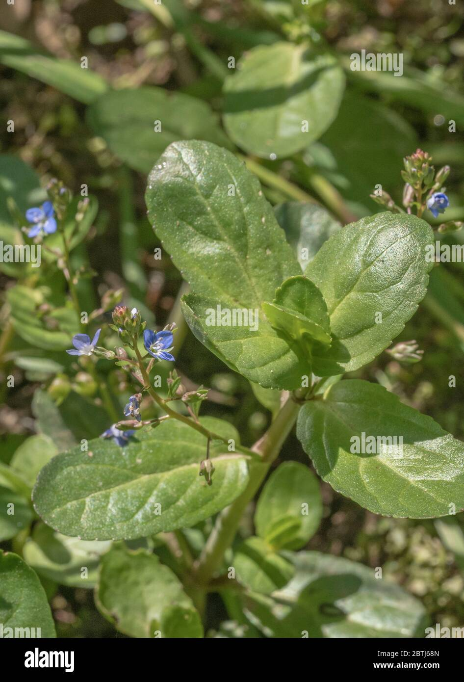 Dainty blue flowers of Brooklime / Veronica beccabunga growing in drainage ditch. A foraged & survival food containing Vitamin C. Once used in cures Stock Photo