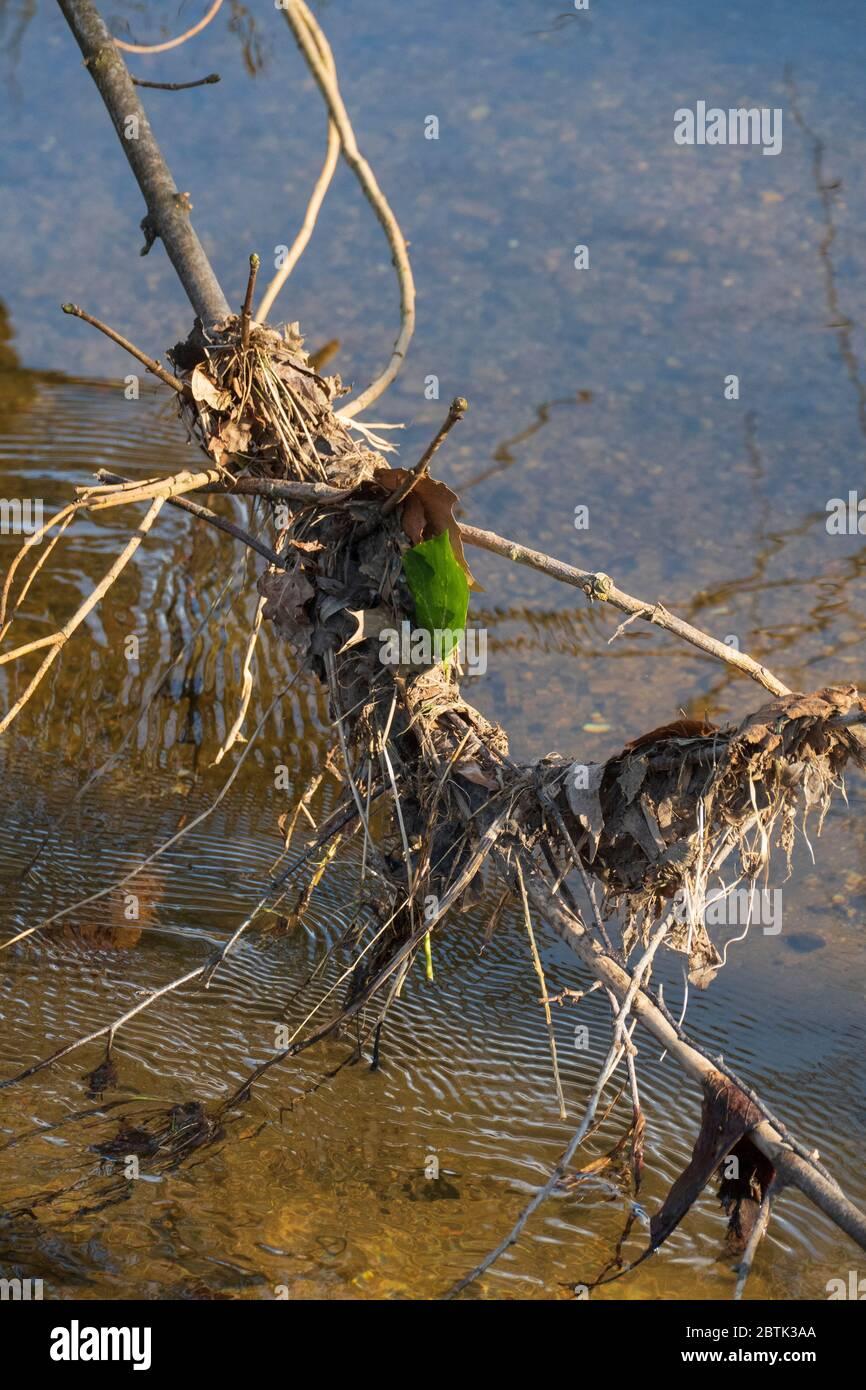 Blätter und Getrüpp sammelt sich an einem Ast der im Wasser hängt Stock Photo