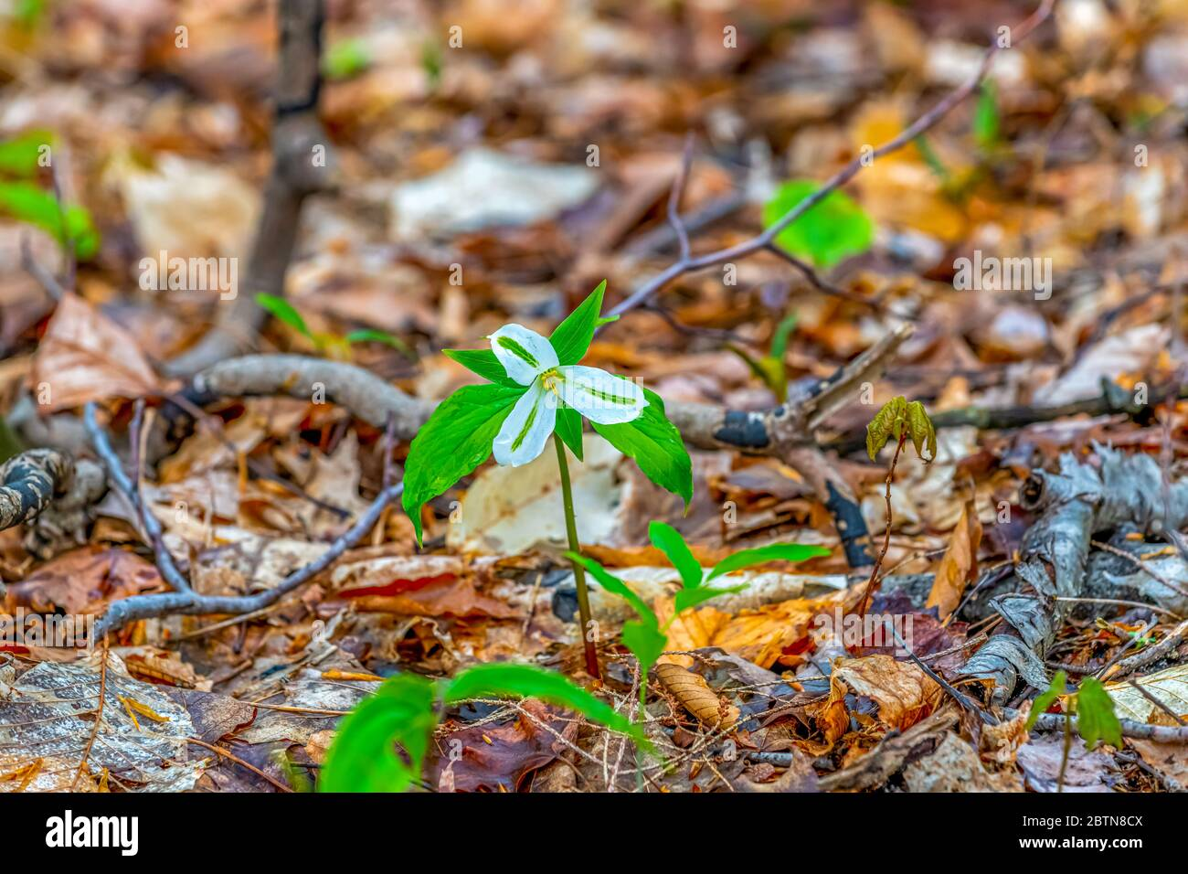 A white flower of a trillium (Trillium grandiflorum) blooming in the spring on Old Mission Peninsula, Traverse City, Michigan, USA. Stock Photo