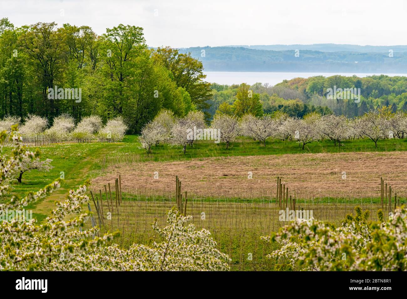 View of blooming cherry trees in orchard with vineyards in the foreground, and Grand Traverse Bay in the background in Spring. Stock Photo