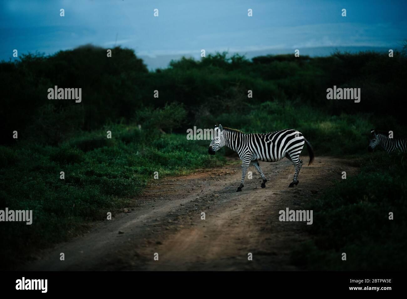 african common zebra crossing mud road used for Jeep safari at masai mara Stock Photo