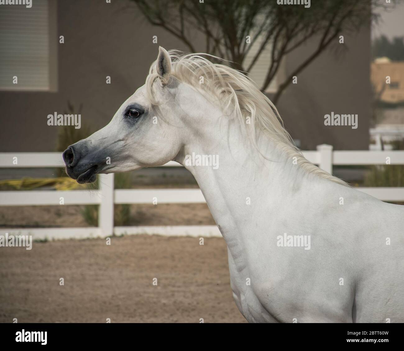 White Arabian Horse Side Face Portrait While Running Inside The Paddock Of Bait Al Arab Kuwait Stock Photo Alamy