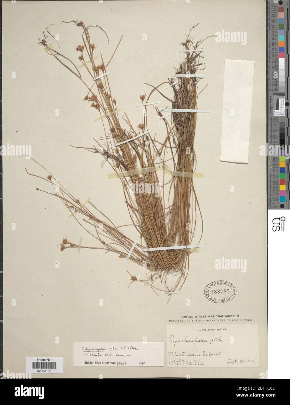 Rhynchospora alba L Vahl. Stock Photo