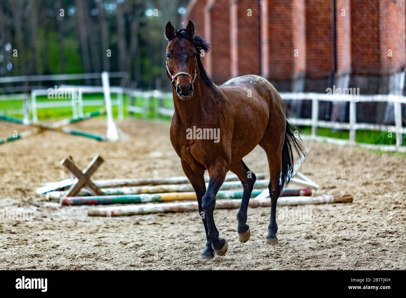 Beautiful Sport Brown Horse Running In The Paddock Portrait Of Chestnut Stallion Horse Galloping In Big Paddock In The Spring Afternoon On A Stud Far Stock Photo Alamy