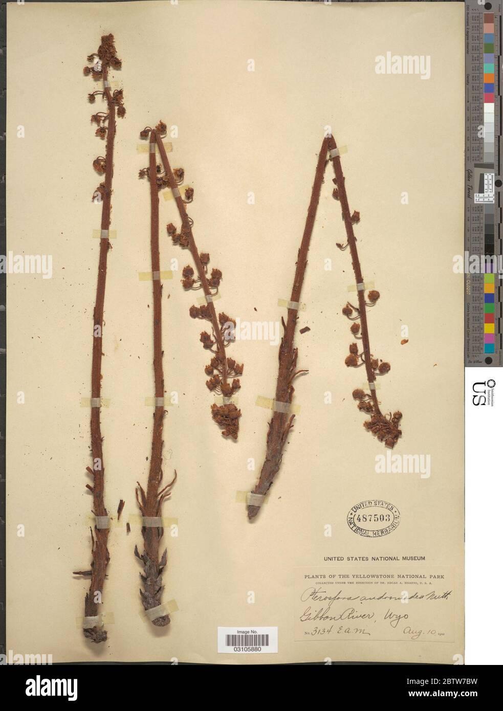 Pterospora andromedea Nutt. Stock Photo