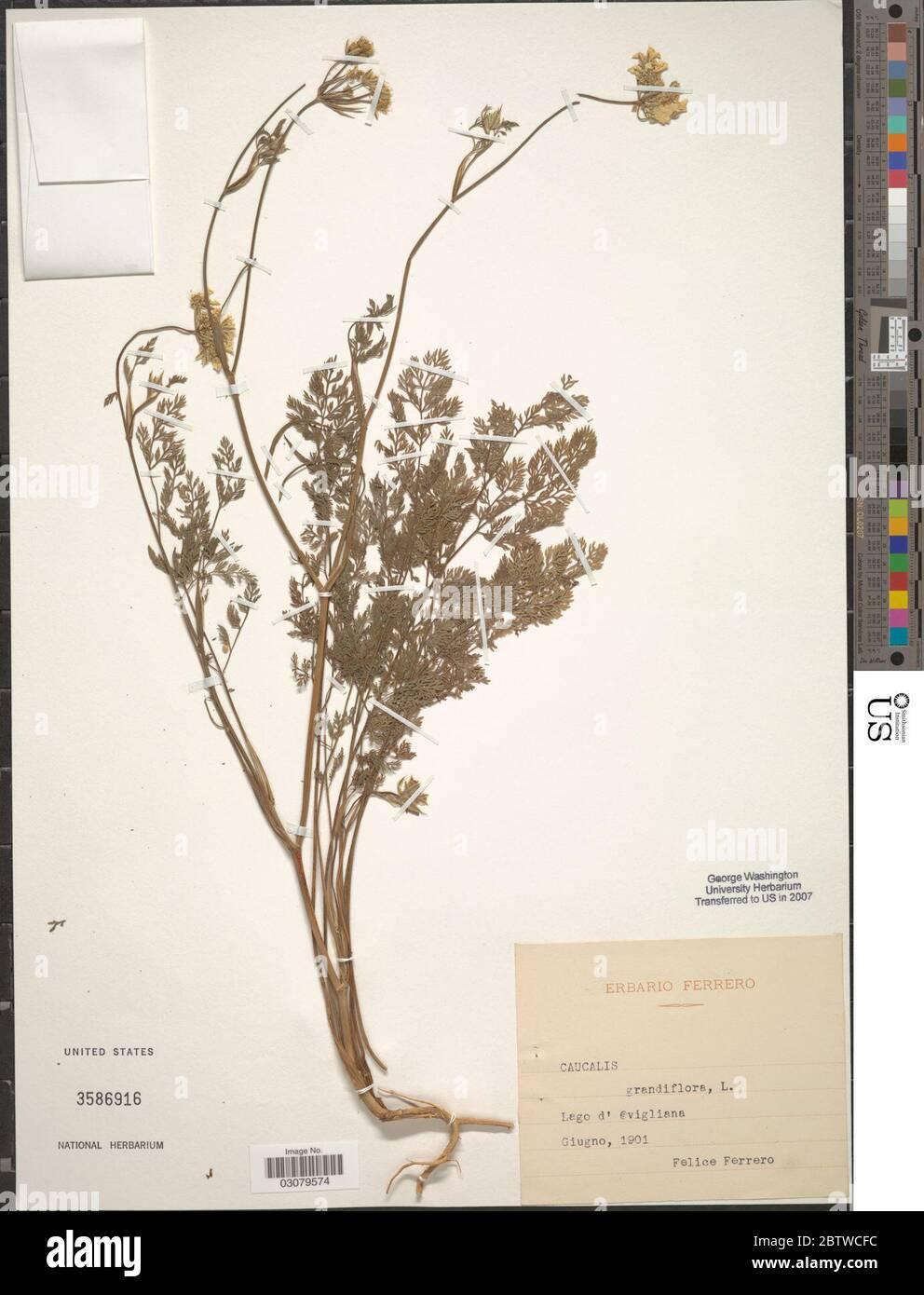 Caucalis grandiflora L. 4 Feb 20191 Stock Photo