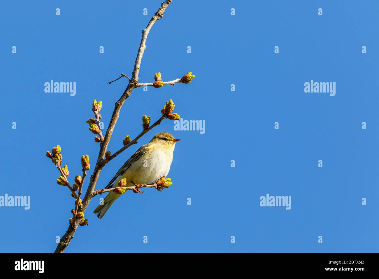 Willow warbler sitting in a tree Stock Photo