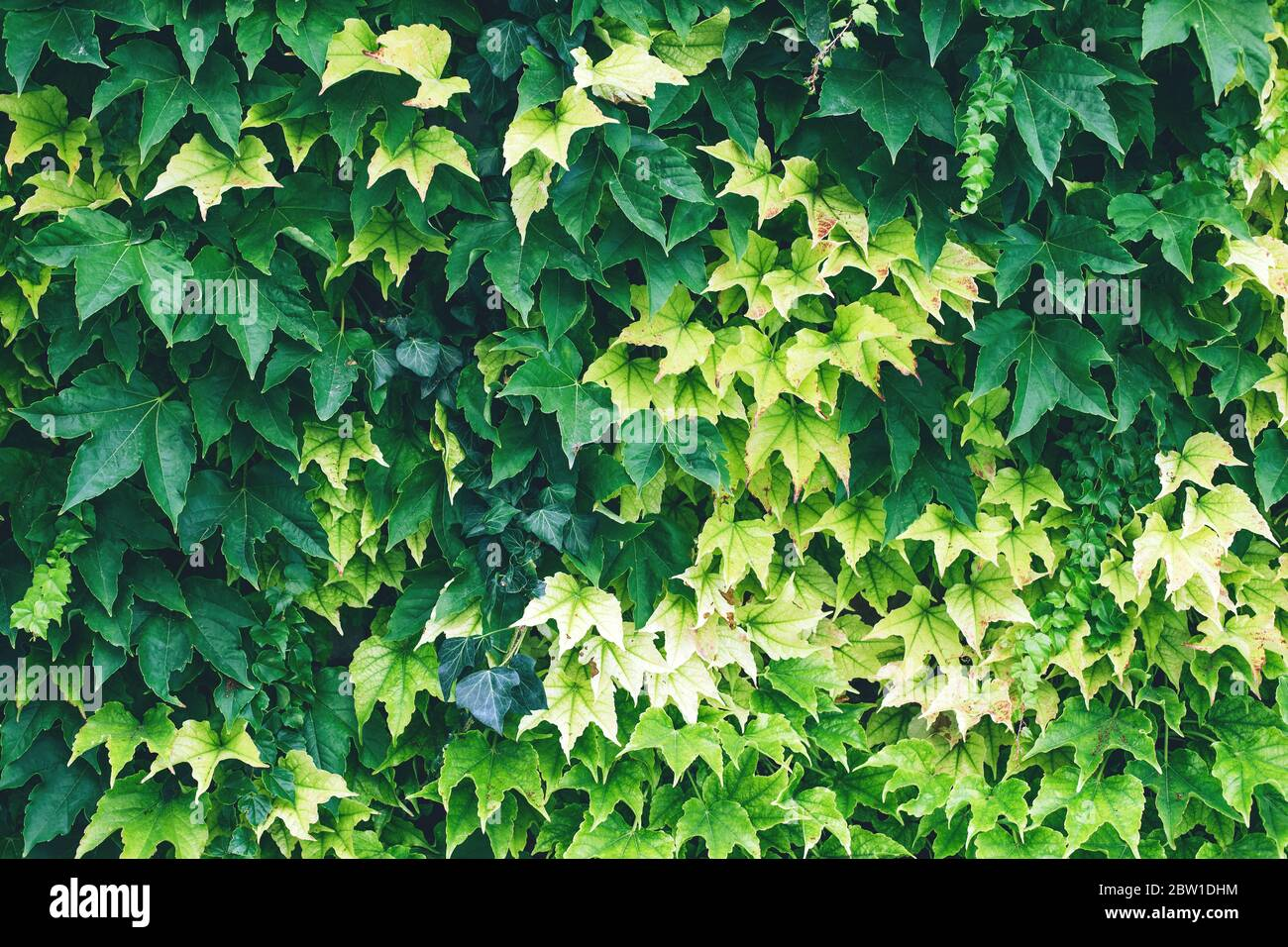 Abstract Ivy Green Wall Surface For Decoration Design Natural Background Texture Spring Summer Floral Wallpaper Interior Vertical Garden Urban Jun Stock Photo Alamy