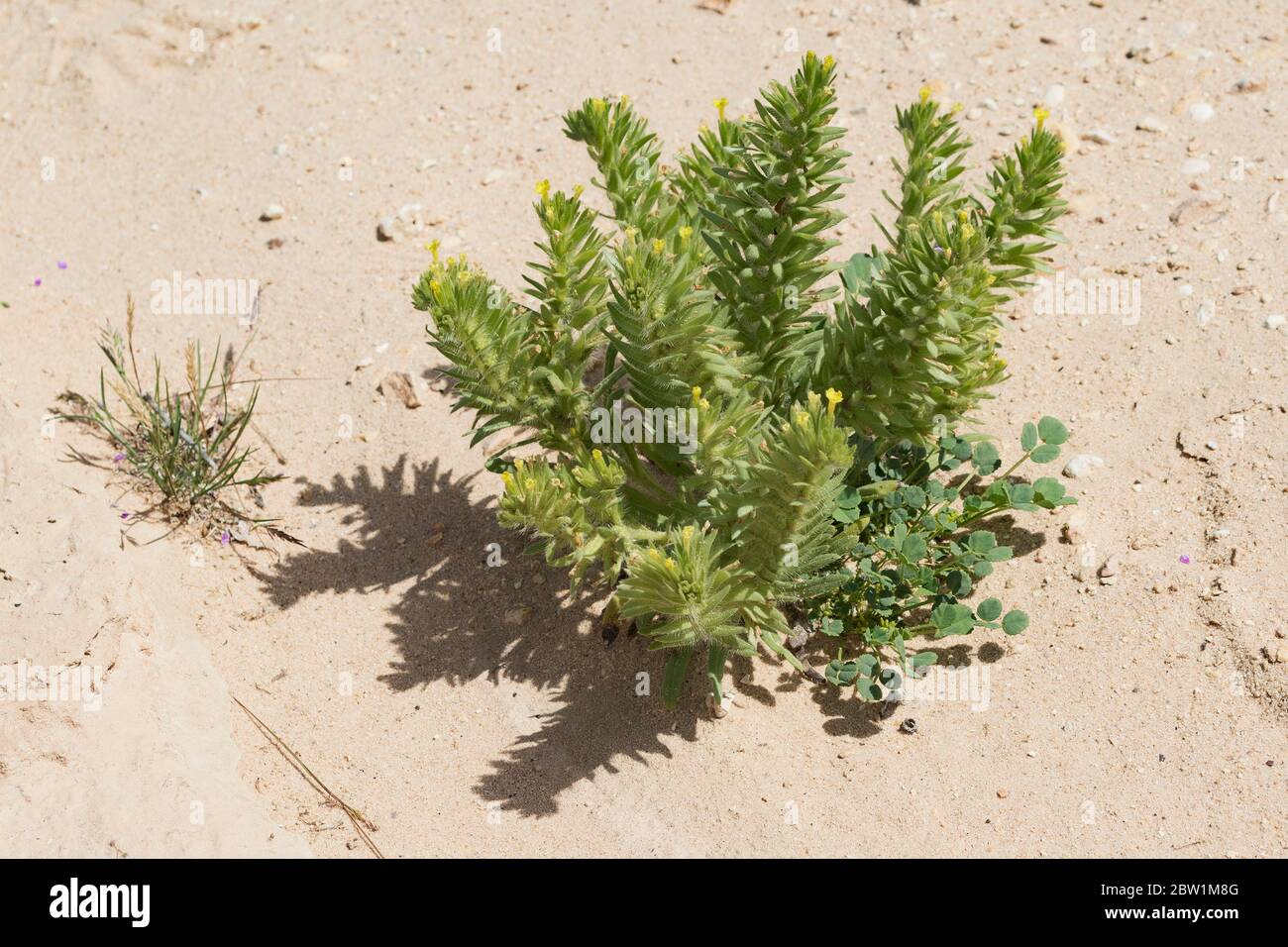 Arnebia linearifolia a plant of the borage family growing in nature next to yellow clover in a dry stream bed in the makhtesh ramon crater in israel Stock Photo