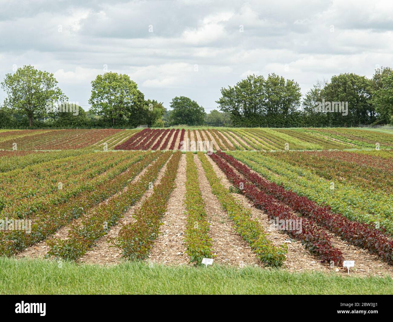 A commercial  field of mixed varieties of roses  before flowering showing the range of foliage colours Stock Photo