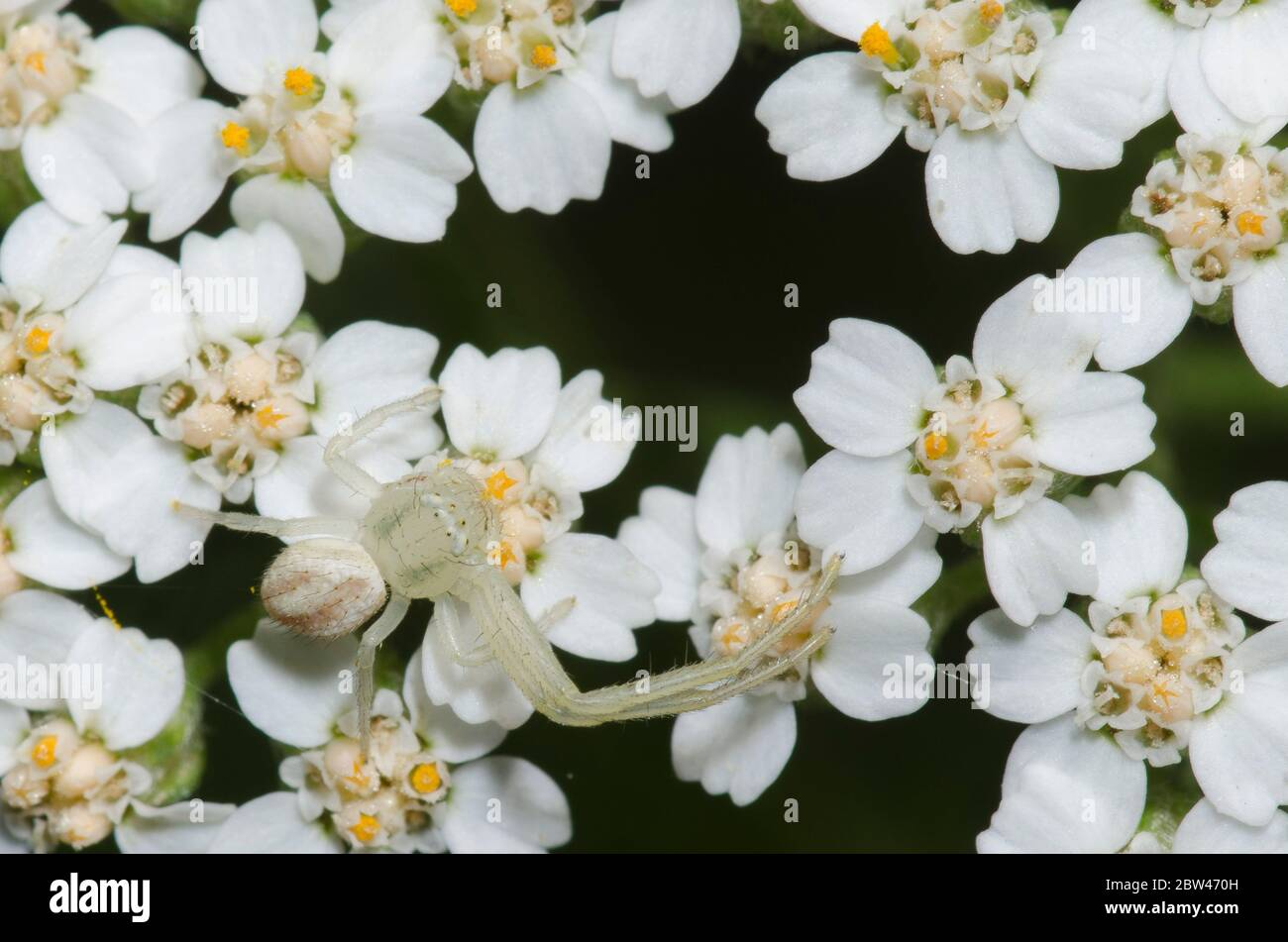Crab Spider, Mecaphesa sp., with missing legs, lurking on yarrow, Achillea millefolium Stock Photo